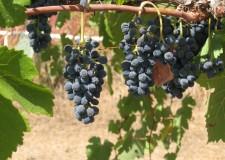 Vendemmia: la raccolta delle uve arriva in anticipo.