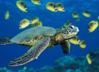 Cattolica. Presentato oggi il primo info point tartarughe in Adriatico per il recupero e la riabilitazione degli esemplari in difficoltà.