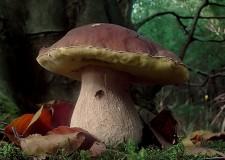 Funghi commestibili? Gli esperti controllano e consigliano fino al 28 novembre.