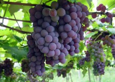 Vendemmia 2011 in calo ma di qualità. In arrivo il marchio Doc Romagna