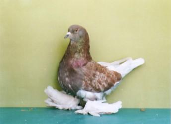 Simboli. Come il 'pollo' anche il 'colombo' sostituito da ibridi d'origine straniera.