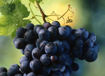 Faenza. Vite all'incrocio. Una tavola rotonda per il recupero delle vecchie varietà locali di produzioni vitivinicole.