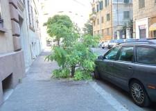 I pini di San Carlo e i danni all'asfalto.