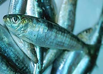 Organismi marini. Con l'aumento della CO2, pesci a rischio.