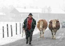 Allarme. La neve danneggia l'agricoltura: difficoltà nelle campagne, stalle e serre