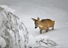 Guardie ecologiche aiutano gli animali nei boschi. In pericolo caprioli, lepri e volatili