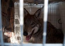 Lupi in Valmarecchia. Soccorso un lupo affamato uscito dal bosco