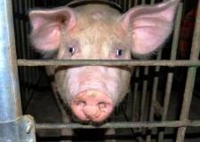 Faenza. L'associazione animalista Gabbie Vuote contro la fiera dell'agricoltura.