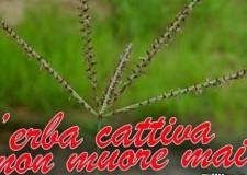 Proverbi che nascondono 'sante' verità: l'erba cattiva non muore mai!