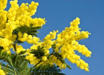 Cesena. Contro i tumori femminili lo IOR lancia la 'mimosa solidale'.