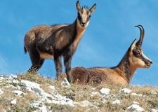 Camoscio Day. Conserviamo i parchi appenninici e gli animali che li popolano.