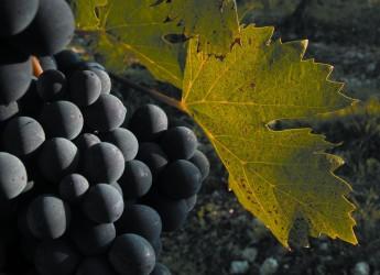 Vino, vitigni tradizionali più controllati e certificati per valorizzare al meglio le varietà tipiche dell'Emilia-Romagna.