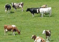 Riolo Terme. La città ospita la 25ma edizione della Mostra nazionale del bovino di razza romagnola.