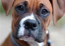 Emilia Romagna. Maltrattamento cani a Ravenna: cuccioli di boxer senz'acqua in baracca rovente.