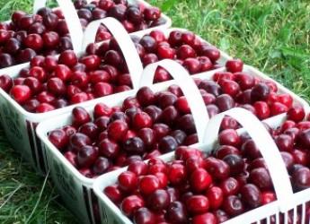 La frutta che arriva con l'estate: a Misano Adriatico c'è la 'Sagra della Ciliegia'.