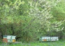 Emilia Romagna. Agricoltura. Dalla Regione 533 mila euro per ottimizzare l'apicoltura regionale.