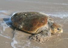 Emilia Romagna. Nel 2010, in Adriatico, lo spiaggiamento di (almeno) 135 tartarughe marine.