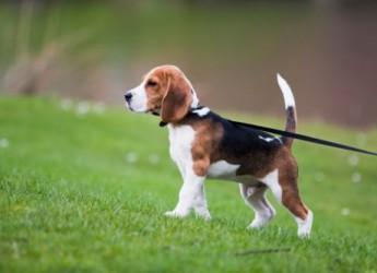 Cesenatico. Una vacanza da… Beagle. Al via la Beagle week nei Ricci Hotels dedicata ai teneri quatrupedi. Soggiornano gratis.