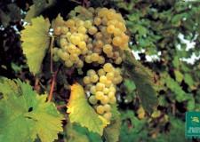 Forlivese. A Carpena la 'Festa della pigiatura dell'uva'. Un volo sul passato tuttora presente.