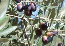 San Clemente. Vietato raccogliere olive. Il Comune punta ad un 'uso sociale' dell'olio prodotto.
