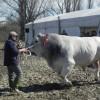 Morciano di Romagna. Premiati il miglior toro, la vacca più bella e il 'Best in show'.
