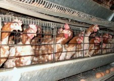 Benessere degli animali: l'Europa deferisce l'Italia alla Corte di Giustizia.