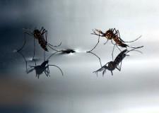 Italia. Virus Zika: pericolo anche in Italia a causa della zanzara tigre che potrebbe diventare il vettore in Europa del virus.