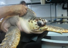 Cattolica. Torna in mare la tartaruga Fegghy.