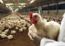 Emilia Romagna. Aviaria: Circa 143mila gli animali che verranno abbattuti.