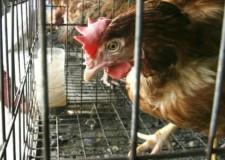 Emilia Romagna. E' conclusa l'emergenza aviaria.