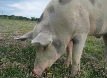Ravenna. Slow food vi accompagna alla festa della 'Scarnadura' per rivivere il rito della macellazione del maiale.