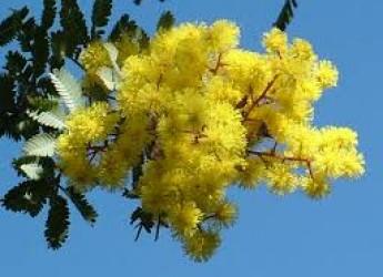 Imola. La Giornata internazionale della donna si riempie di solidarietà, con la Mimosa solidale.
