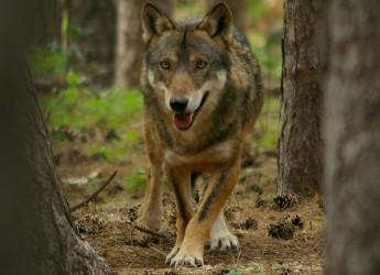 Italia. Belluno. Incontro pubblico promosso dal CAI sul ritorno del lupo sulle montagne.