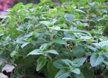 Argomenti. Sicurezza alimentare: Rasff, allerta in Italia per salmonella spp. in origano fresco dalla Turchia.