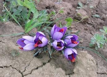 Emilia Romagna. Bagnara e lo spettacolo dello zafferano in fiore. Evento aperto a tutti.