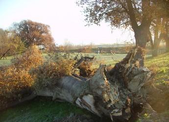 San Mauro Pascoli. Un monumento per la quercia caduta. La pianta plurisecolare verrà conservata al parco delle querce e commemorata con la poesia di Giovanni Pascoli.