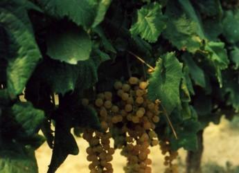 Dozza. All'Enoteca si degusta l'Albana. Note dolci e colori dorati per la rassegna 'Sere d'estate fresche di vino'.