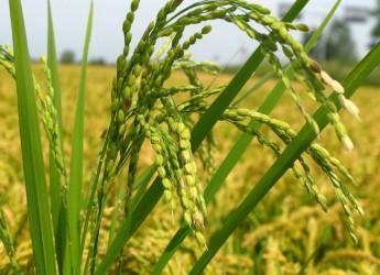 Milano. Il riso italiano protagonista all'Expo, un'eccellenza italiana che deve essere sviluppata con una ricerca scientifica e un aumento dell'export.