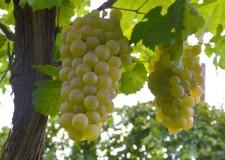 Dozza. Ultimo appuntamento con 'Sere d'estate fresche di vino', ospiti della serata la Rebola e Famoso.