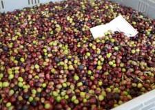 Rimini. A San Clemente il Comune raccoglie oltre sette quintali di olive, l'olio prodotto sarà utilizzato per fini sociali.