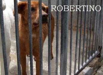 Italia. Adozione cani. Robertino cerca casa. E' 8 anni che è in canile, è una taglia medio piccola ed è timido.