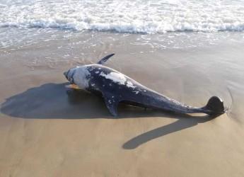 Riccione. Rinvenuti sulla spiaggia dei bagni 114/115 una tartaruga e un delfino. Le cause della morte potrebbero essere violente.
