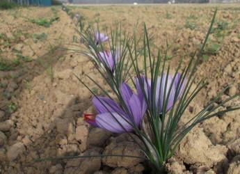 Bagnara di Romagna. Lo spettacolo della fioritura dello zafferano all'azienda agricola 'I cuori'.
