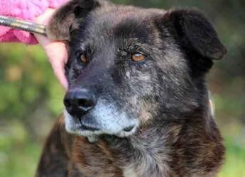 Italia. Cani in adozione. Falco ha nove anni, sette vissuti in canile, crede ancora in una vita diversa.