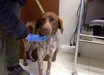 Italia. Marche. Adozione cani. Un cane da caccia è stato portato in canile. 'Dado' cerca famiglia per non conoscere le sbarre.