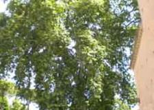 Ravenna. Il platano della basilica di San Vitale è stato inserito tra gli alberi monumentali d'Italia.