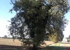Ravenna. Ambiente. Cinque alberi privati inseriti tra quelli di pregio e tutelati dal Comune.
