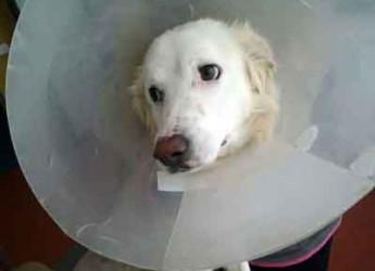 Italia. Cani in adozione. Gioia è stata salvata dopo un incidente, ha perso una zampa, ma non la voglia di vivere.