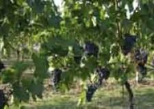Romagna. L'Europa ci vuole far bere la 'copia' del Sangiovese. Consorzio Vini Romagna sul piede di guerra.