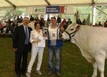 Riolo Terme. Mostra Nazionale dei bovini di razza Romagnola, Victoria si aggiudica la kermesse.